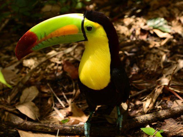Belize-Tucan-jungle-Travelfiesta
